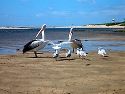 AUSTRALIA NEW SOUTH WALES THE ENTRANCE 16FEB08 - Pelicans and seagulls gather at The Entrance, coastal New South Wales, Australia...jre/Photo by Jiri Rezac..© Jiri Rezac 2008..Contact: +44 (0) 7050 110 417.Mobile:  +44 (0) 7801 337 683.Office:  +44 (0) 20 8968 9635..Email:   jiri@jirirezac.com..Web:    www.jirirezac.com..© All images Jiri Rezac 2008 - All rights reserved.