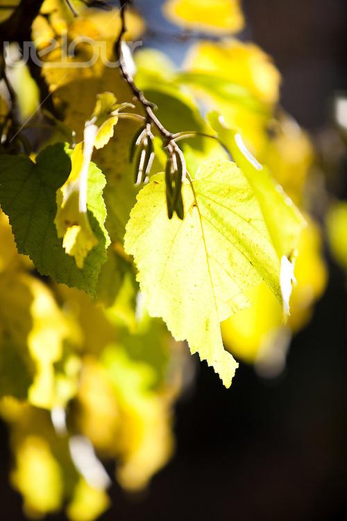 Høstblader i sollys