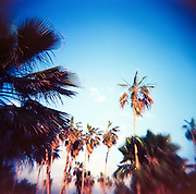 "Palm trees in the late afternoon light in El Pescadero, southern Baja, Mexico.  Captured on film with the cult classic Holga plastic ""toy"" camera."