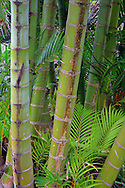 Stand of bamboo, ferns and palm fronds in Hana, Maui, Hawaii