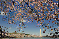 Cherry Blomms bloom in Washington, DC, April 2009, surrounding the Tidal Basin