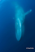 blue whale, Balaenoptera musculus, Endangered Species, diving, California ( Eastern Pacific Ocean )