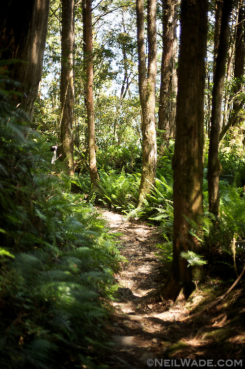 A hiking trail through a fern covered forest in Taiwan.