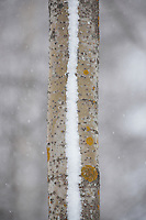 SNOW-STRIPED ASPEN TREE; POPULUS TREMULA; OULU, FINLAND; EUROPE; 2009