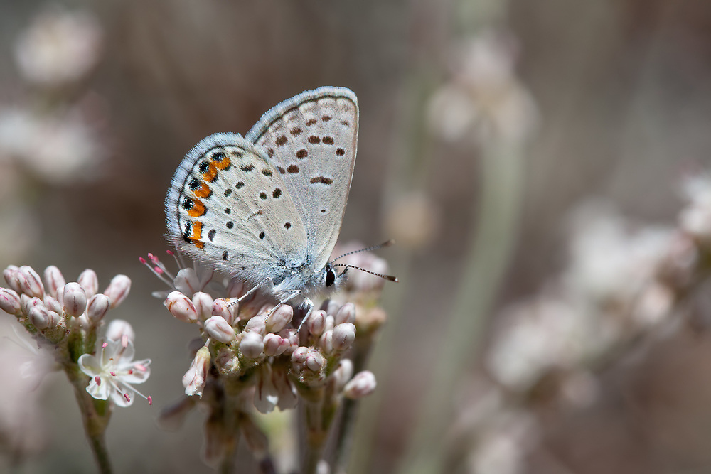 Plebejus acmon (Acmon Blue) ♀ at Buckhorn Flat, Angeles NF, Los Angeles Co, CA, USA, on Davidson's buckwheat 07-Aug-16