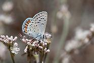 Icaricia acmon - Acmon Blue