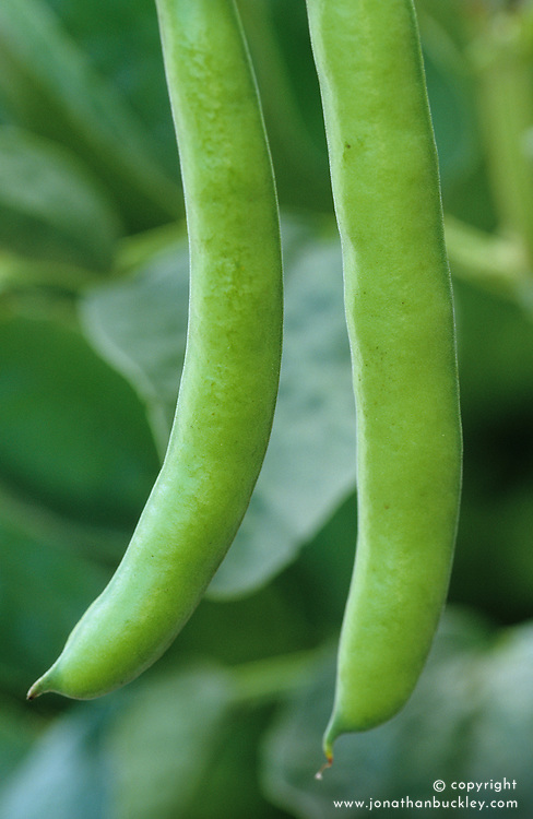 Broad Bean 'Stereo' - Vicia faba