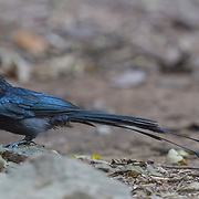 The greater racket-tailed drongo (Dicrurus paradiseus) is a medium-sized bird which is distinctive in having elongated outer tail feathers with webbing restricted to the tips. They are placed along with other drongos in the family Dicruridae.