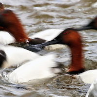 Long exposure of a flock of canvasbacks (Aythya valisineria) actively diving for food, Choptank River, Cambridge, Maryland