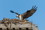 Wings stretched, an osprey lands on a nest, Wolf Island, Ontario, Canada.