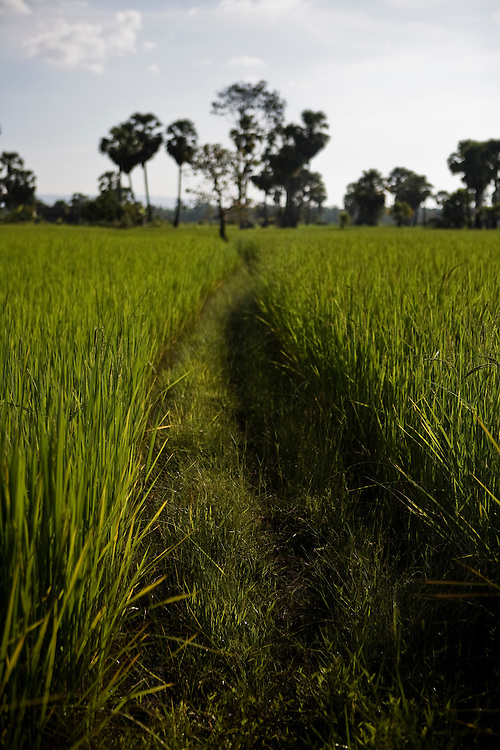Rice fields near Angkor temples. Siem Reap, Cambodia. Siem Reap, Cambodia