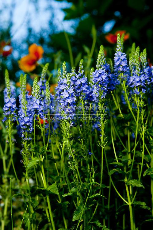 Veronica latifolia, Rock Alpine Garden