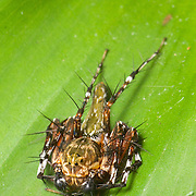 Lynx spider is the common name for any member of the family Oxyopidae. Khao Ang Rue Nai Wildlife Sanctuary, Thailand.