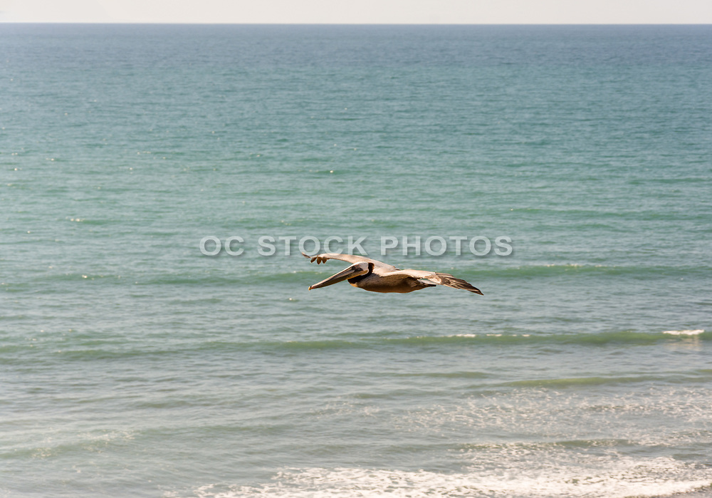 Brown Pelican Flying Over The Pacific Ocean