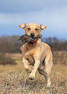 Chukar Hunting at Marsh Lake preserve in Victoria, MN