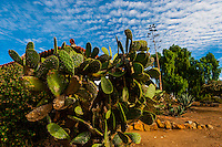 Cactus, Casa de Estudillo, San Diego, California USA.