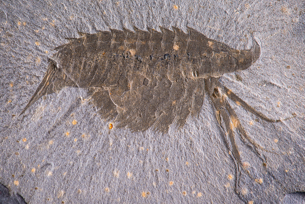 This Leanchoilia superlata (lateral aspect) from the famous Burgess Shale site in British Columbia, Canada shows beautiful soft tissue preservation