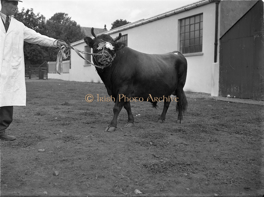 19/09/1952<br /> 09/19/1952<br /> 19 September 1952<br /> Show: Pedigree Dairy Cattle Breeders Council of Ireland Autumn Show and Sale at 30 Prussia Street, Dublin. Capt. Wilson's champion,Cattle Market,