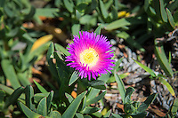 "This South African native succulent perennial with its very attractive bright pink and/or yellow flowers has found its way to both California and Florida thanks to the ornamental plant industry and has particularly found a foothold along Southern California highways, earning it the nickname ""highway ice plant."" Originally used as a soil stabilizer due to its matting, ground-cover nature it has unexpectedly spread into several sensitive ecological habitats such as coastal communities and desert dune habitats where it quickly outgrows and outcompetes threatened and endangered plants. This one was found growing in a sprawling matt across the sandy beach in Los Angeles, California next to the Del Rey Lagoon."