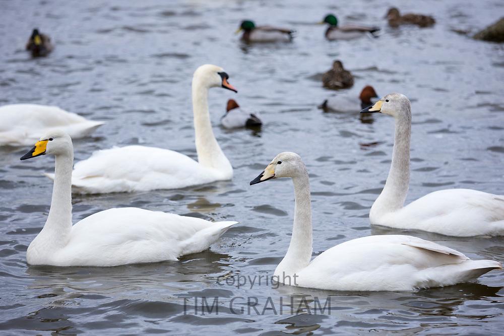 Group of Whooper Swan, Cygnus cygnus and Mute Swan, Cygnus olor, at Welney Wetland Centre, Norfolk, UK