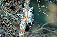 Three-toed Woodpecker (Picoides albolarvatus), Kerry Wood Nature Centre - Red Deer, Alberta, Canada   Photo: Peter Llewellyn