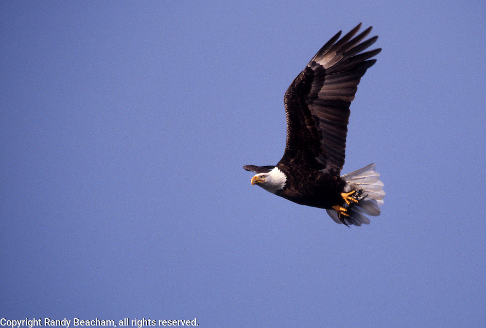Bald eagle with kookanee. Lake Coeur d' Alene, North Idaho.