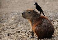 Capybara (Hydrochoerus hydrochaeris) with a Giant cowbird (Molothrus oryzivora) on its back, Mato Grosso do Sul, Brazil.