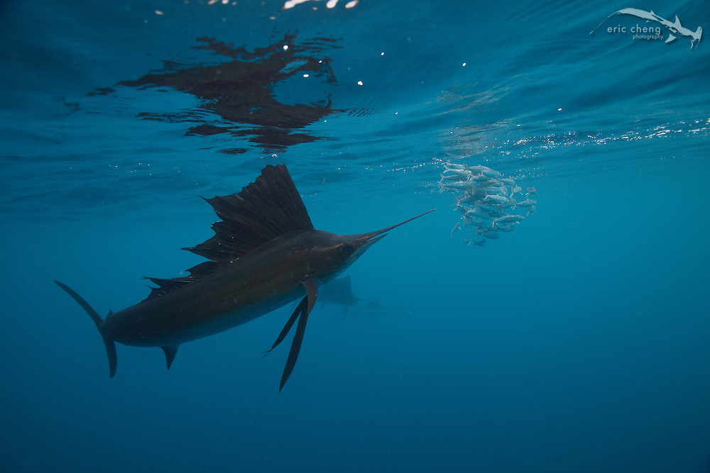 Atlantic sailfish (Istiophorus albicans) hunt sardines in Isla Mujeres, Mexico.