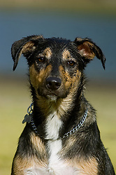 Wallace mixed breed young rescue dog looking scruffy after playing in water and mud