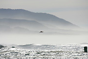 CALIFORNIA COAST - JANUARY 3:  2006 A pelican glides above the water as the sea mist lends a look of tranquility as waves come ashore near Morro Bay during New Year's vacation driving along the California Coast on January 3, 2006 in Morro Bay, California. ©Paul Anthony Spinelli
