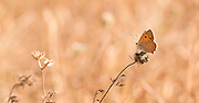 The Small Copper, American Copper or the Common Copper, (Lycaena phlaeas timeus) Butterfly shot in Israel, Summer June