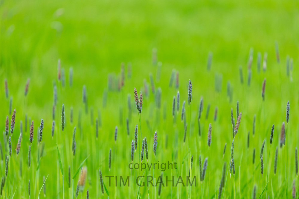 Wild ornamental grasses in The Cotswolds, UK