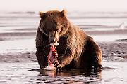 USA, Katmai National Park (AK).Coastal brown bear (Ursus arctos) eating salmon