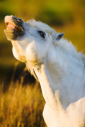 A dominant white stallion of the Camargue (Equus ferus caballus) displays dominance and confidence in the presence of mares, evening light,  Le Camargue, Provence, France