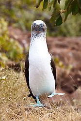 A dancing Blue-footed Booby (Sula nebouxii), Galapagos Islands National Park, North Seymour Island, Galapagos, Ecuador