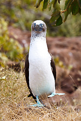 A dancing Blue-footed Booby (Sula nebouxii), Galapagos Islands National Park, North Seymour Island, Galapagos, Ecuador