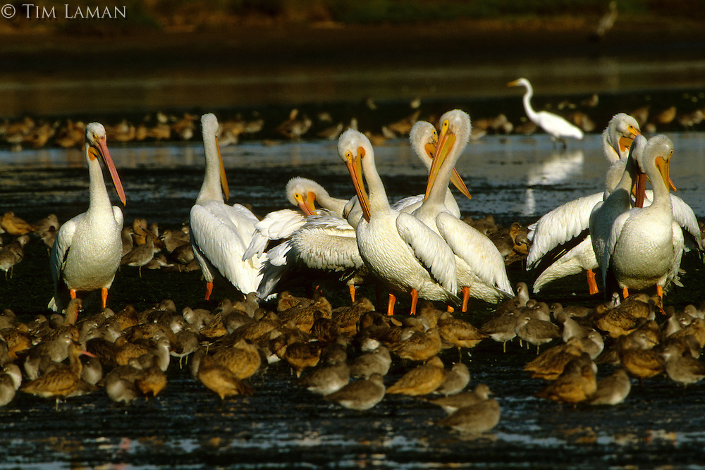 American White Pelicans (Pelecanus erythrorhynchos), Marbled godwits (Limosa fedoa),  and Willets (Catoptrophorus semipalmatus).  Moss Landing, California.  Oct 2002.