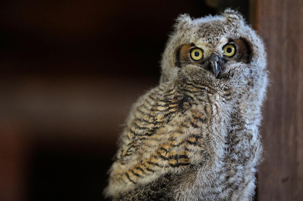 A barn owl in rural S.D.