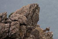 Mouflon/Ovis musimon/female with juvenile/Parc naturel regional du Haut-Languedoc/Caroux/France