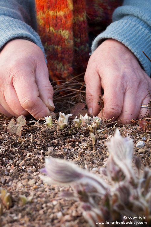 Clearing debris around emerging shoots of Pulsatilla vulgaris