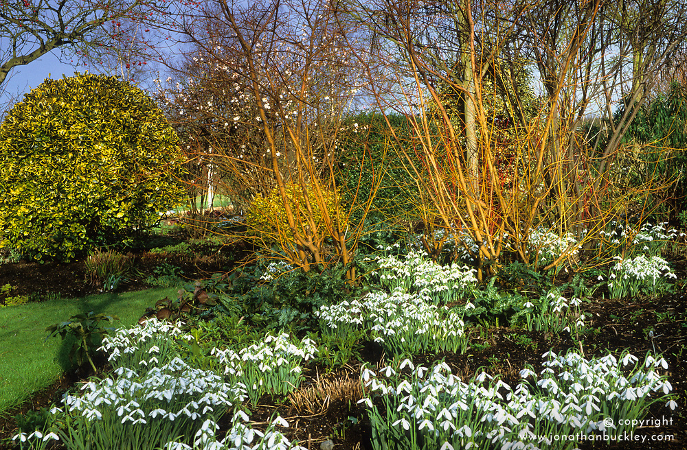 Galanthus 'Atkinsii' planted amongst cornus stems at Glen Chantry