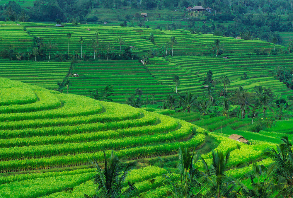 Asia, Indonesia, Bali, near Jutiluwih village. Lush, terraced rice fields and coconut palm trees