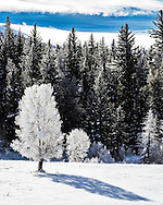 Frosty Tree, cold day, Grand Teton National Park.  It was a hoar frosty morning in Jackson Hole<br />