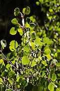 The quaking aspen (Populus tremuloides) is a deciduous tree native to cooler areas of North America. Photographed above South Lake in Inyo National Forest, Sierra Nevada, California, USA.
