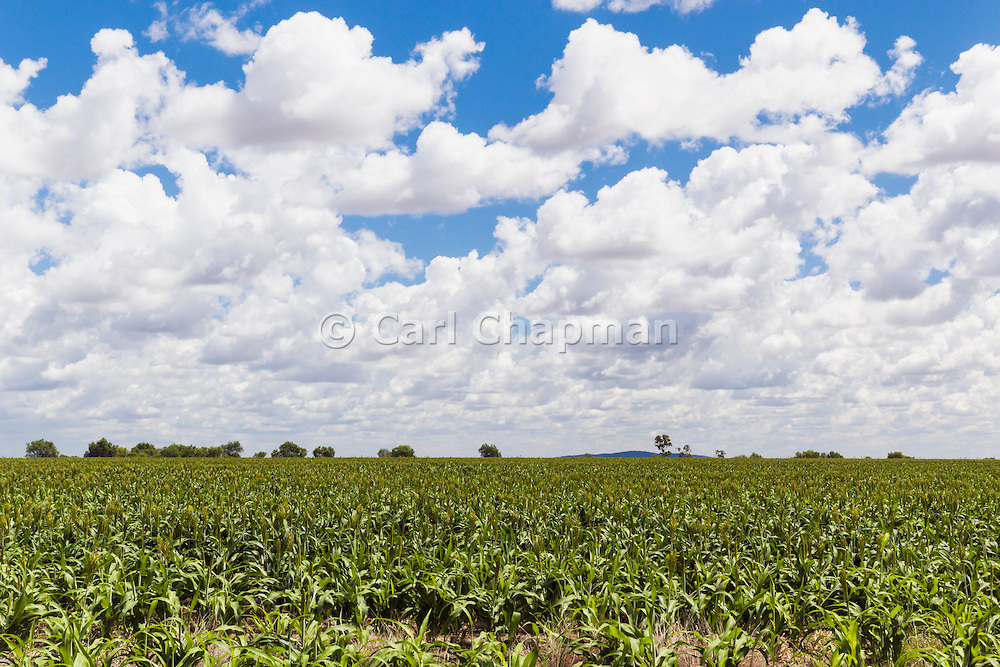 Sorghum crop in farm paddock under clouds near Moranbah, Queensland, Australia