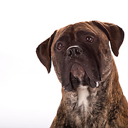 Curious Boxer dog looking up, brindle, natural ears, copy space