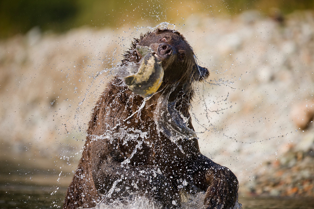 USA, Alaska, Katmai National Park, Kinak Bay, Brown Bear (Ursus arctos) catches spawning salmon in shallow stream on autumn afternoon