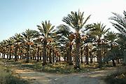 Israel, Jordan Valley, Kibbutz Ashdot Yaacov, Date Palm (Phoenix dactylifera) plantation