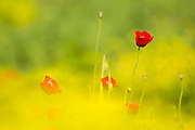 Red wild poppies in a green field