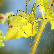 A green lynx spider, Peucetia sp. or a Peucetia viridans variation.